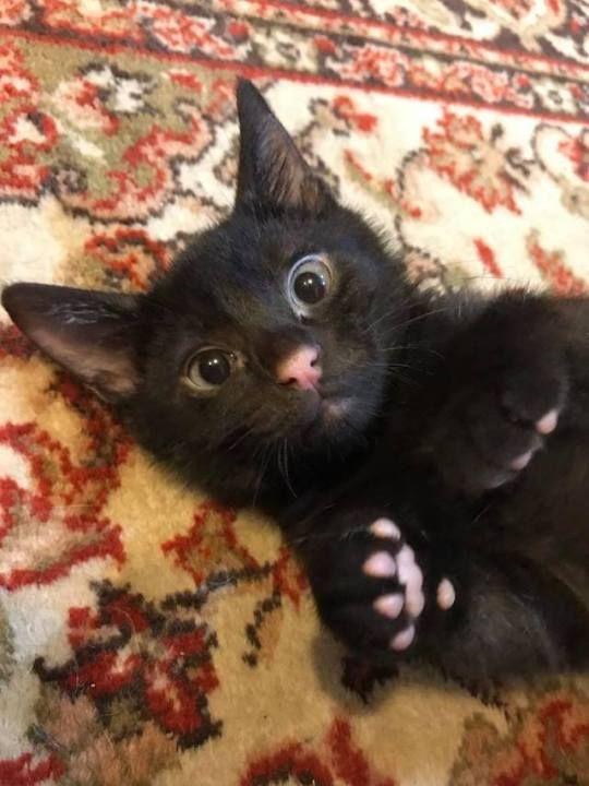 Cats Beavers Ducks Cute Black Cats Black Cat Adoption Cute Animals