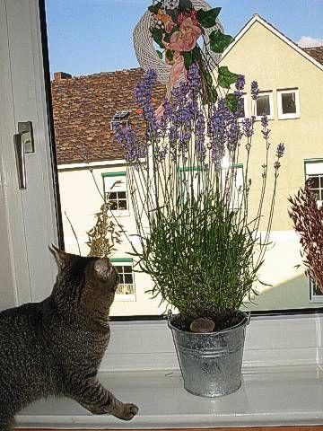 Is lavender poisonous?