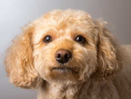 Black Labradors Barry Vale Of Glamorgan Pets4homes Cavapoo