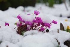 雪に埋もれたシクラメン。 ピンクの花が、映えてきれいだ。 冬に、もっともきれいに咲く花のひとつだ。 寒さのなかに見つけた、ホッ!