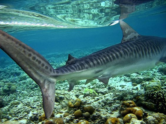 Image result for tiger shark tubbataha