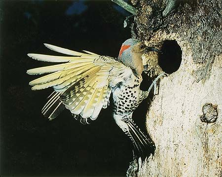 Eastern Flicker, Flying, Great Spruce Head Island, Maine, July 22, 1968
