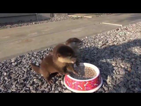 These Baby Otters Were Rescued From The Animal Trade – Listen To Them Eat Its Amazing – Viral Videos Gallery