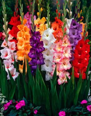 Fedco Trees - Item: Large-Flowering Gladiolus Mix