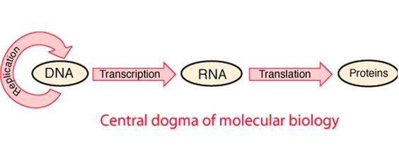 Sample Essay On Central Dogma Of Molecular Biology Essayhomworkhelp Org