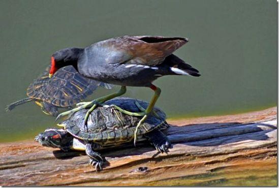 Turtle Surfing.