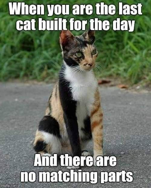 Image result for calico cat memes