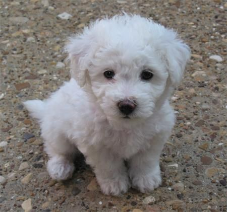 This looks just like my dog when he was a puppy! Aww my little Tyson :) Bishon Frise