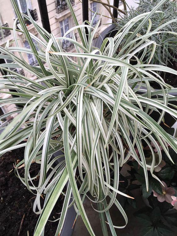 liriope spicata �silver dragon� httpwwwpariscotejardin