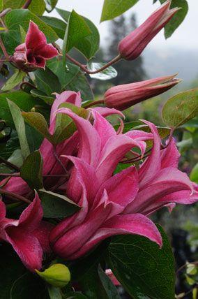 Clematis Princess Diana - texensis X 8ft. summer - fall bloom