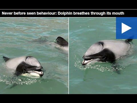 Never before seen behaviour  Dolphin breathes through its mouth