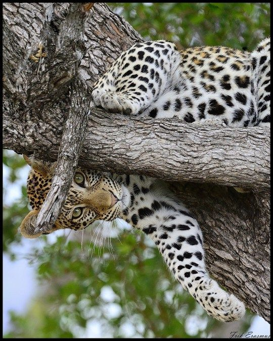 A female leopard hanging out up a tree in South Africa's Kruger National Park by Frik Erasmus