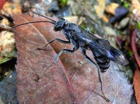 Esta vespa da China chama atenção pela forma singular de proteger sua prole. Ela coloca formigas mortas no seu ninho, que liberam um gás capaz de mascarar o cheiro das próprias larvas, afastando eventuais predadores. Segundo os cientistas, trata-se do primeiro animal conhecido a utillizar essa barreira química como forma de proteger o ninho. A espécie foi encontrada na Reserva Natural de Gutianshan no leste da China.