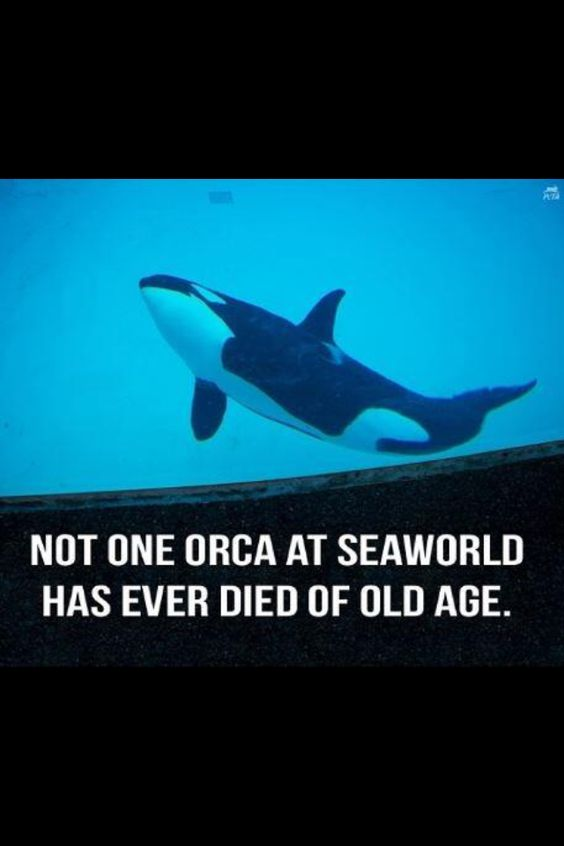 anti orca captivity Pro captivity noaa scientist and anti cap blackfish  without captivity people would  seaworld's announcement to end captive orca breeding is a.
