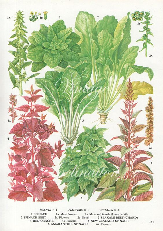 Vintage Vegetable SPINACH RED BEET kitchen decor wall ...