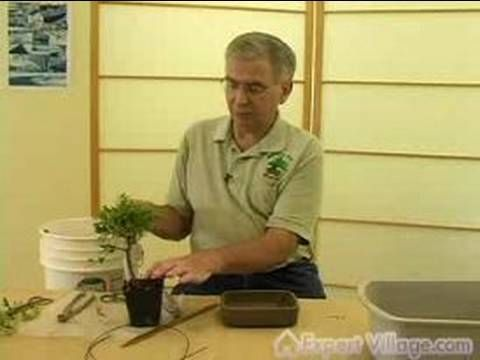 How to Grow Bonsai Trees : How to Plant a Bonsai Tree - YouTube