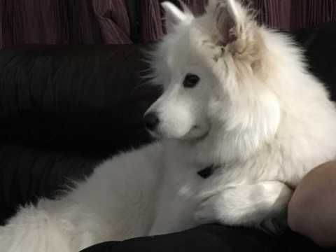 Samoyed Dogs For Sale In The Uk Pets4homes Dogs For Sale
