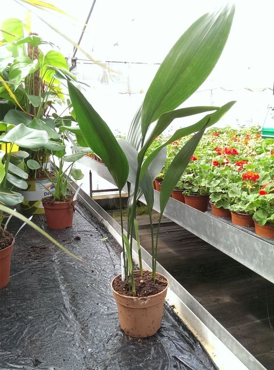 Aspidistra Elatior House Plant in a 13cm Pot. 60cm tall. Cast Iron Plant: Amazon.co.uk: Garden & Outdoors