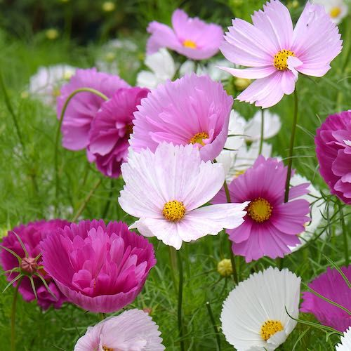 How To Collect Cosmo Seeds From Your Garden Cosmos Flowers Cosmos Flowers Garden Fuchsia Seeds
