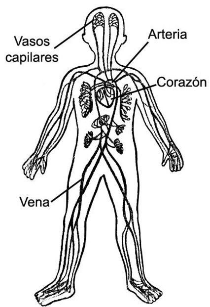 Sistema circulatorio para niños de inicial - Imagui
