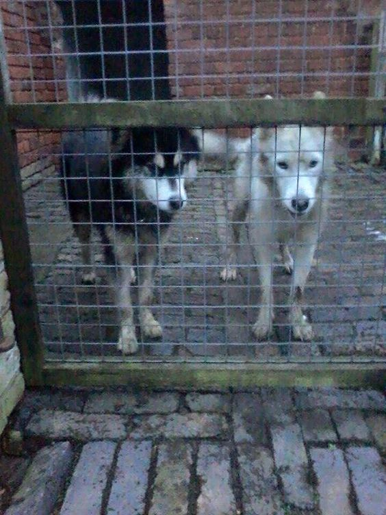 Two husky dogs found today in Rode Heath (about 3.30pm) on Jan 17th. dogs are safe.Dont know what sex they are, can't get close enough to check. Could you please phone 078110938646 or 01782 723723. Thank you. Xx Via Woofs and Whinnies