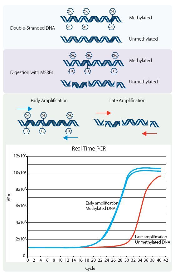 an analysis of the scientists having a small amount of dna to deal with when doing genetic research This genetically modified insulin, 'humulin' was licensed for human use in 1982 the genetic engineering process a small piece of circular dna called a plasmid is extracted from the bacteria or yeast cell a small section is then cut out of the circular plasmid by restriction enzymes, 'molecular scissors.