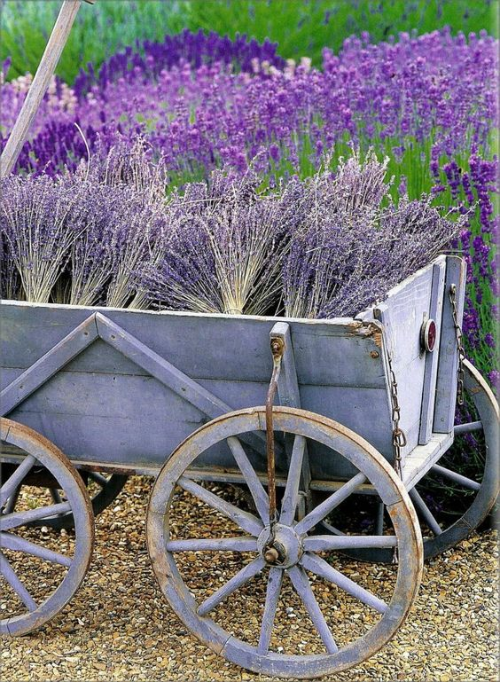 la récolte en Provence...If only I could grow that much lavender!: