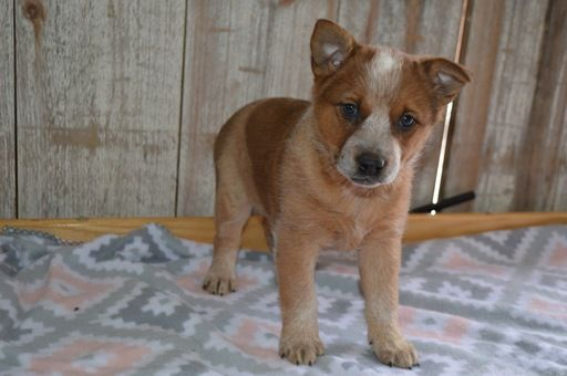 Australian Cattle Dog Puppy For Sale In Honey Brook Pa Adn 71153 On Puppyfinder Com Gender Australian Cattle Dog Puppy Australian Cattle Dog Cattle Dogs Rule