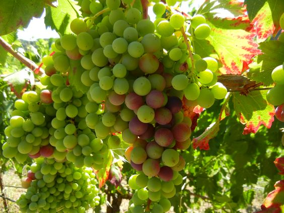 Veraison 2015 - the 2015 vintage is going nicely!