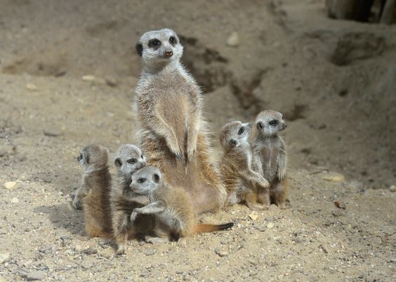 Making their own little mob, no less than six baby Meerkats were born on June 2 at Vienna's Schöenbrunn Zoo!Last year Meerkats were voted to be the favorite animals there by zoo guests, so this big addition is exciting news. Learn more at Zooborns.com. http://www.zooborns.com/zooborns/2013/07/six-baby-meerkats-born-at-schoenbrunn-zoo.html