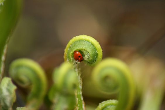 Ladybird on a fern