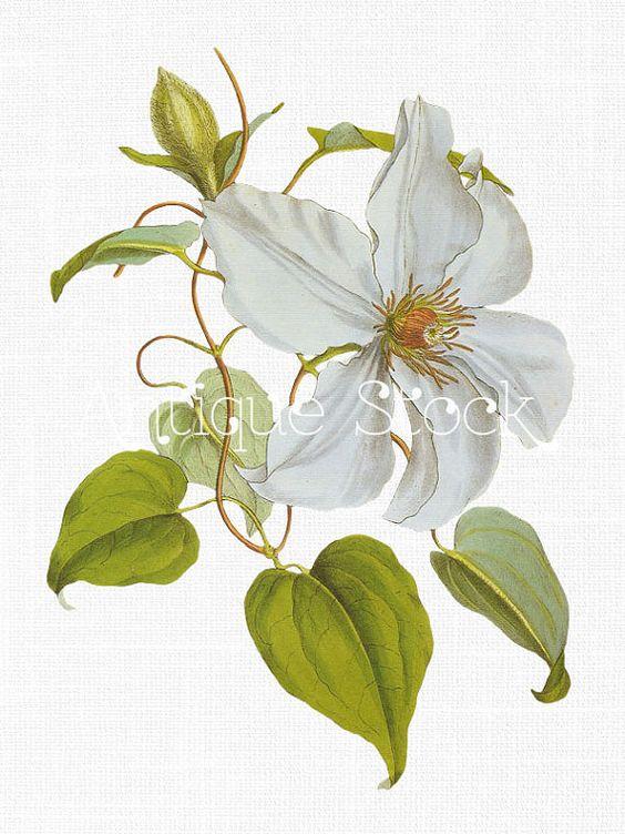 White Flower Clip Art Clematis Vine Candida Flower Image ...  White Flower Cl...