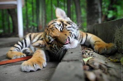Sleeping tiger