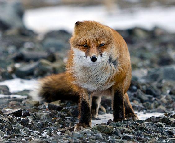 der boese Fuchs