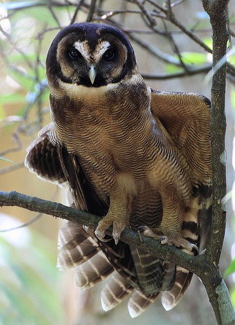 Brown Wood Owl // Chouette leptogramme -