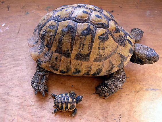 Eine 5 Wochen junge Schildkröte und eine 45 Jahre adulte Schildkröte. :-)