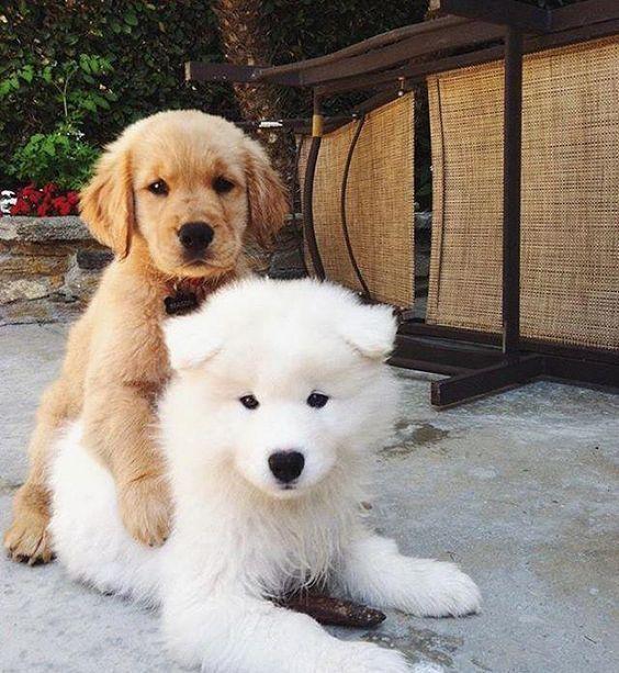 Adorable Samoyed Samoyed Sammy Puppy Cute Dog Note No