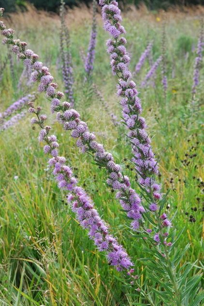 Tall blazingstar, rough blazingstar, button blazingstar, tall gayfeather, rough gayfeather (Liatris aspera) Native plant hardy to -40°F; dry to medium soils, in full sun to some shade. Grows 2 to 4' tall and 1' to 2' wide. Blooms in late summer to mid-fall. A favorite of butterflies, bees and other long-tongued pollinators.