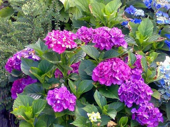 Herb Lore: The Magical Hydrangea-Not many people talk about the magical properties of the hydrangea. According to folklore, a person could break a curse by using it. In general the hydrangea stands for friendship, devotion, and understanding. Hydrangea is also used medicinally. Native Americans used the root as a diuretic and detoxifier. The bark of the hydrangea was used to ease muscle sprains and burns. It is still used today in alternative medicine as a tonic herb.