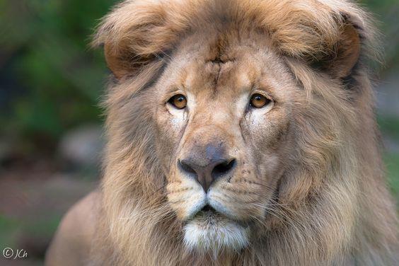 Lion by Johan CHABBERT (JCh) on 500px