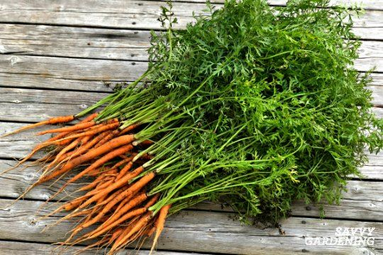 Thinning Carrots How To Plant And Thin Carrot Seedlings Carrot