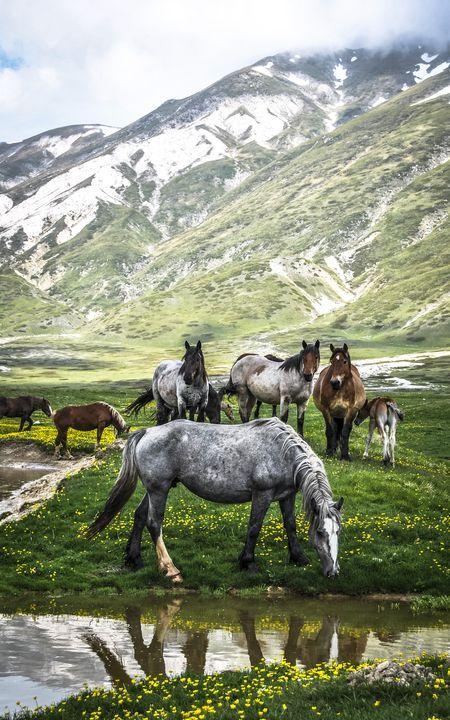 Wild horses at Campo Imperatore, Abruzzo, Italy