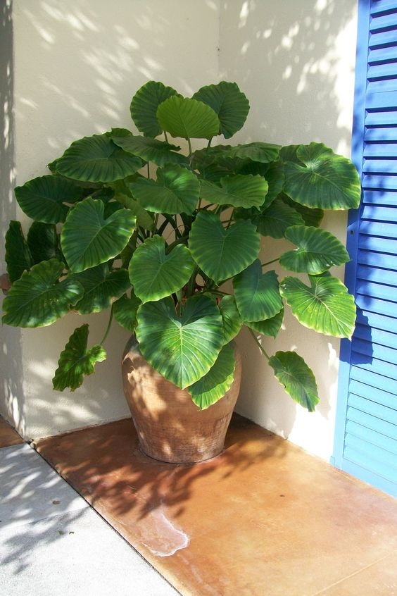 Alocasia 39 california 39 is an easy to care for tropical for Easy care outdoor plants