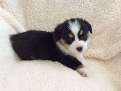Pembroke Welsh Corgi Puppy For Sale In Saguache Co Adn 65159 On