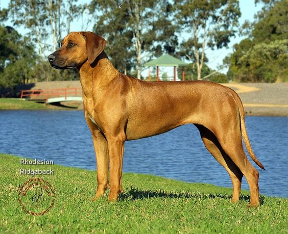 African lion dog breed - photo#28
