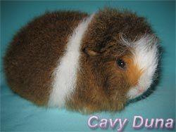 Cavy Duna caviary. Питомник морских свинок Кеви Дюна.: