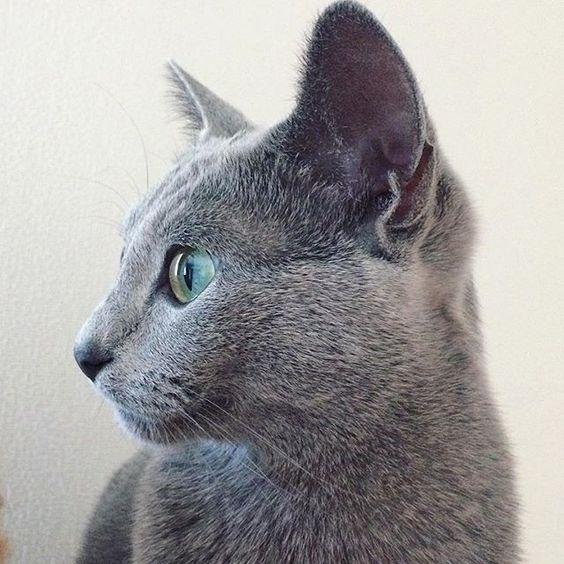 ロシアンブルーの猫の横顔