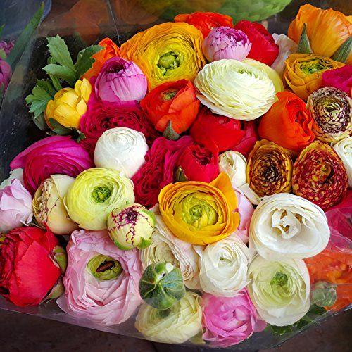 Ranunculus Tecolote Picotee Mix 10 X Large Bulbs 8 C Https Www Amazon Com Dp B005wxxxq8 Ref Cm Carlsbad Flower Fields Easy To Grow Bulbs Flower Field