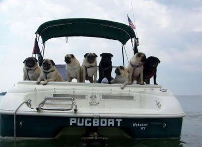 Pugs on a boat!!