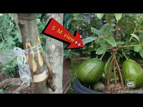 Maiduls Garden How To Air Layer An Avocado Tree Lapisan Udara Alpukat Cangkok Youtube Alpukat Tanaman Pencangkokan